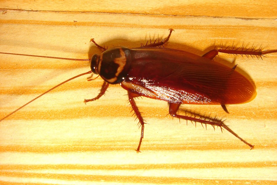 17645-close-up-of-a-cockroach-pv